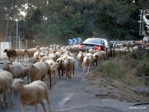 sheep-and-car