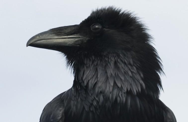 JPoulson-Raven-1024x666
